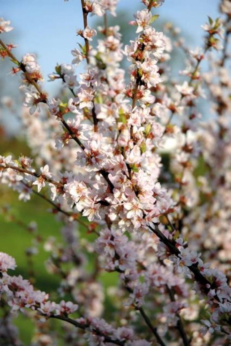 Wiśnia 'Orient' zachwyca wiosną