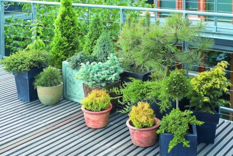 Iglaki Na Balkonie Jak To Zrobić E Ogrody