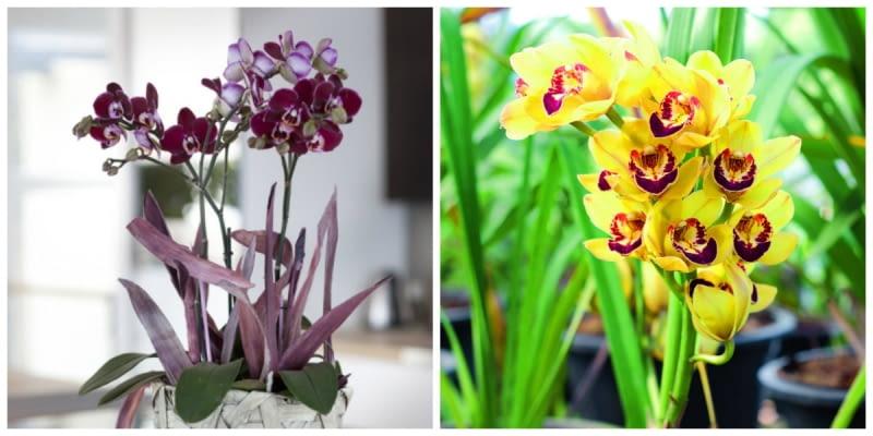 Najbardziej popularne storczyki. Od lewej falenopsis i cymbidium