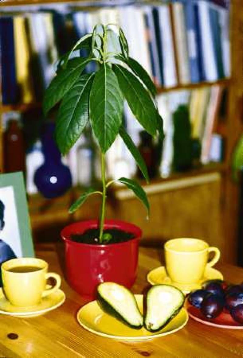 Wyjęte z owocu nasiona awokado, w suchym powietrzu szybko wysychają i tracą żywotność, dlatego najlepiej od razu umieścić je w wilgotnym podłożu.