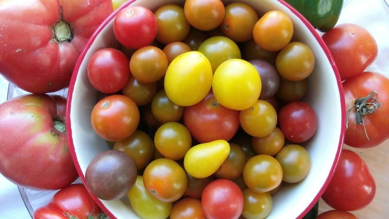 Amatorsko można uprawiać różne grupy pomidorów: i te ogromne malinowe, których owoce ważą po 250-300g i średniej wielkości i małe tzw. koktailowe. Powodzeniem cieszą sie odmiany barwne.