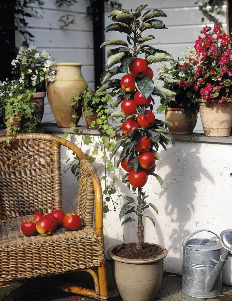 Jabłka Z Balkonu E Ogrody