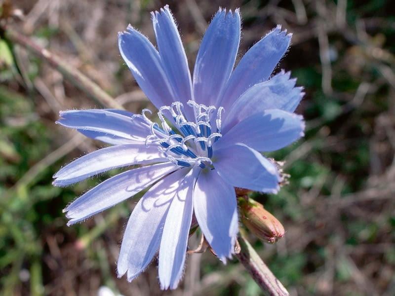 Kwiatostan to koszyczek złożony z kwiatów języczkowych z pręcikami w środku.
