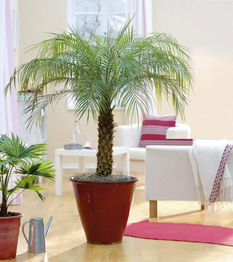 Jak Pielęgnować Palmy W Domu Warunki Uprawy Egzotycznych