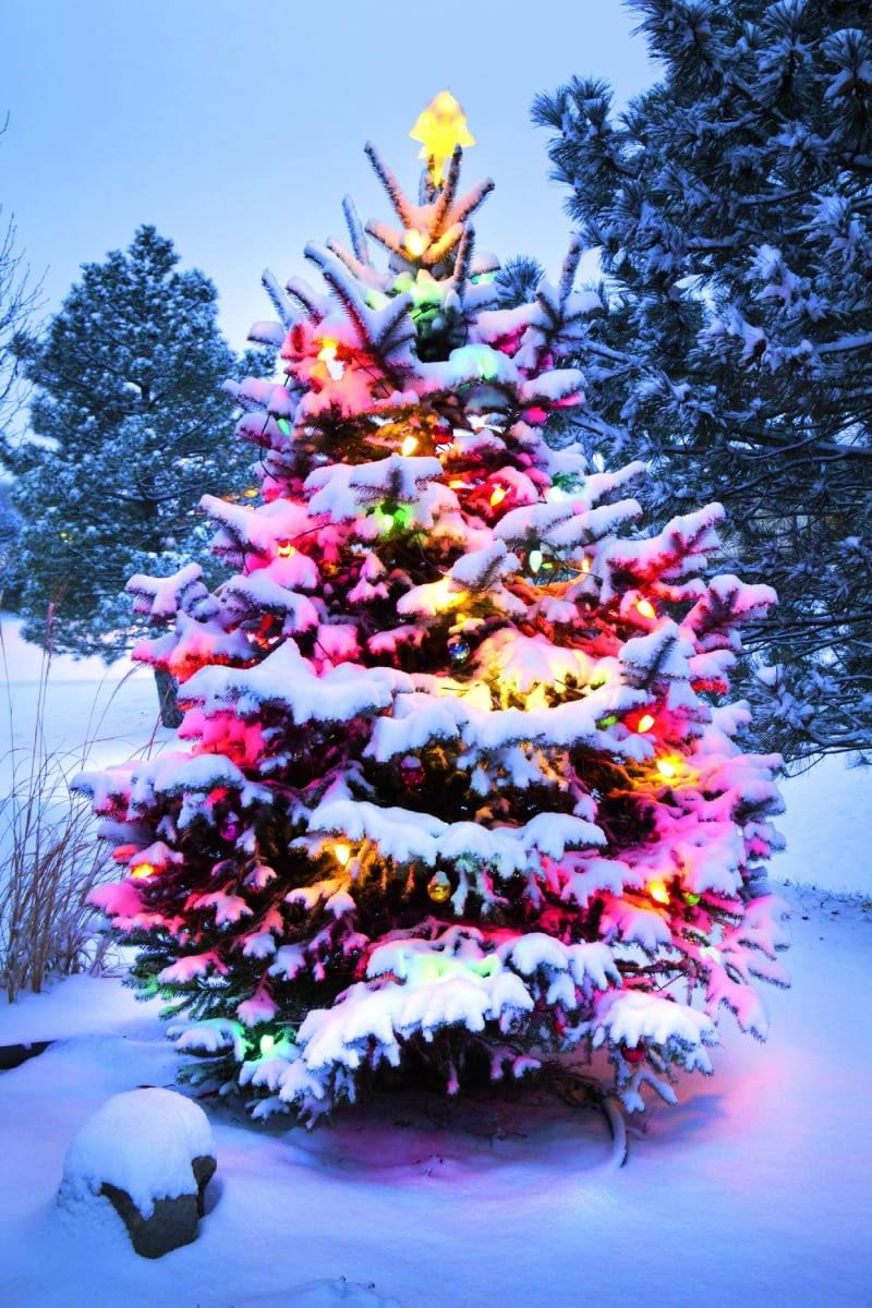 Jodła w świątecznej szacie może też zdobić ogród. Pamiętajmy tylko o strząsaniu z gałęzi śniegu!