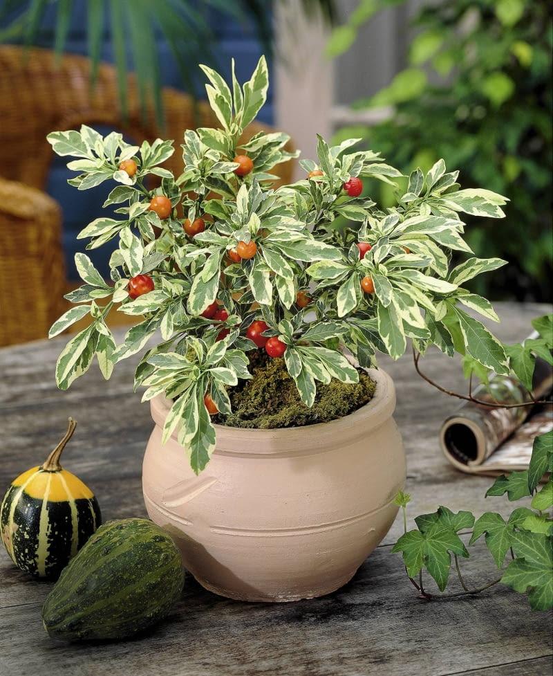 Korallenkirsche, Solanum capsicastrum Variegatum, FrŁchte sind giftig! SLOWA KLUCZOWE: Giftige Pflanzen Baum Laub Strauch bunt orange Hochformat