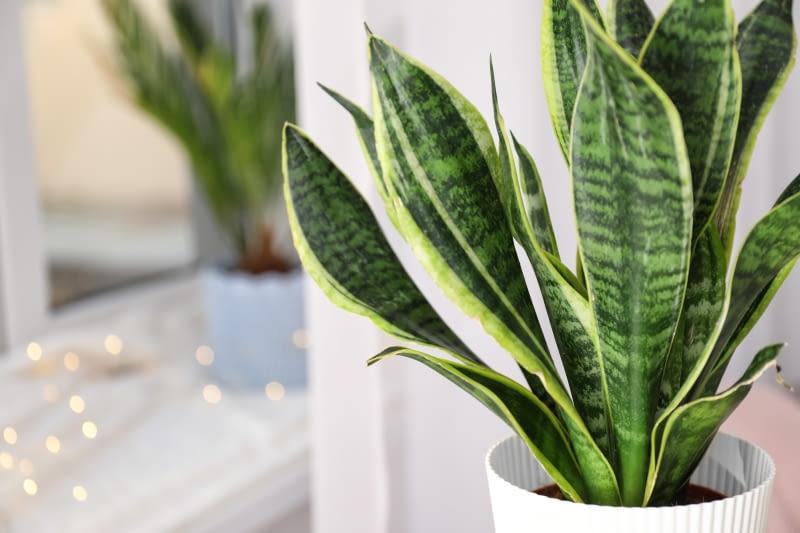 rośliny łatwe wuprawie wdomu wężownica sansevieria