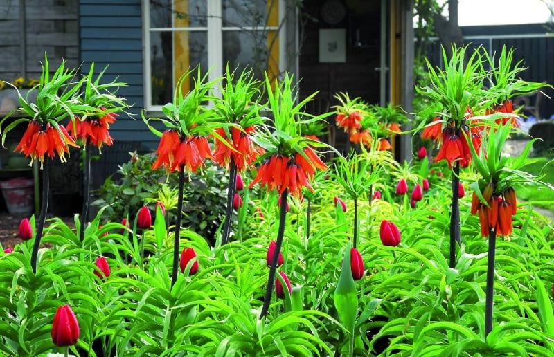 Szachownica cesarska potrzebuje dobrze napowietrzonej ziemi. Świetnie rośnie np. wpodgórskich ogrodach. Na zdjęciu odmiana 'Premier'.