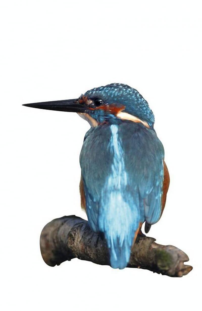 Grzbiet i głowa zimorodka mają piękny turkusowy kolor