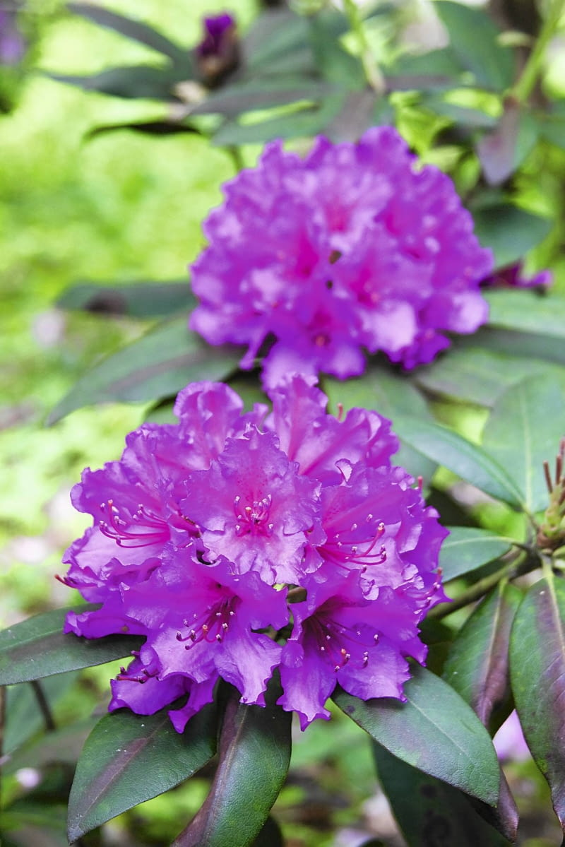 Aby różanecznik tak ładnie zakwitł, jego pąki muszą zdrowo przezimować.