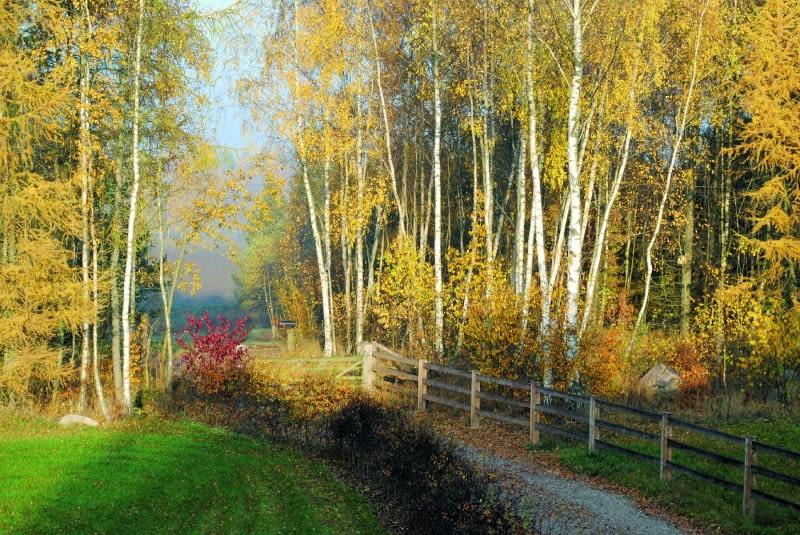 Las otoczony ścianą złocistych brzóz i modrzewi wygląda bajkowo.