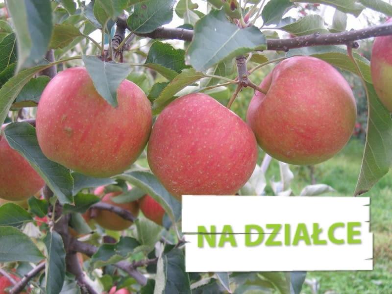 Jabłoń 'Sampion', inaczej 'Szampion'