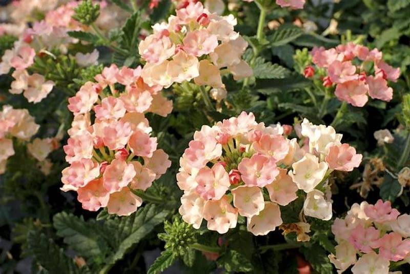 nowości kwiatowe, kwiaty na balkon,