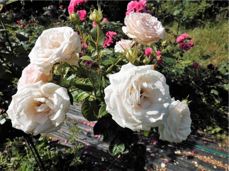 Róża rabatowa Madame Anisette