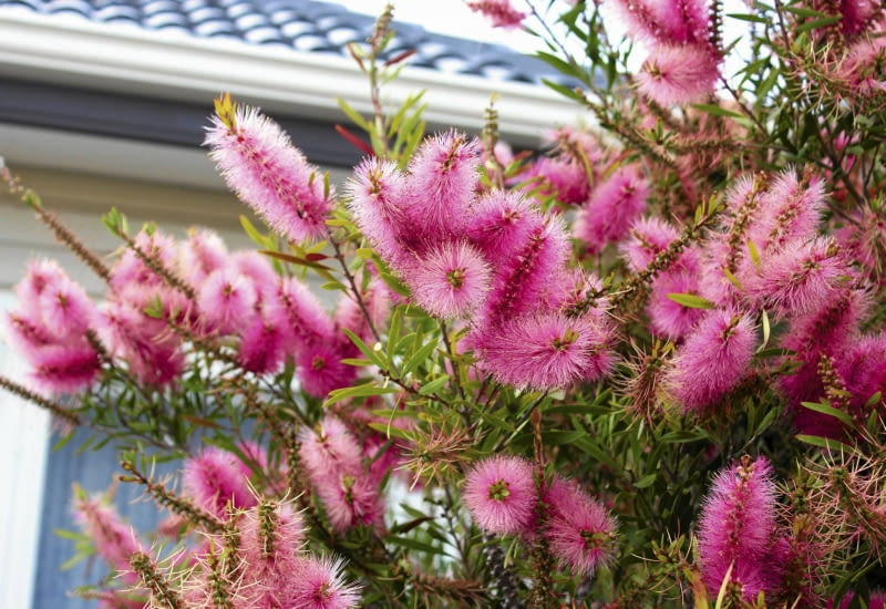Callistemon salignus tworzy kwiatostany długości ok. 20 cm