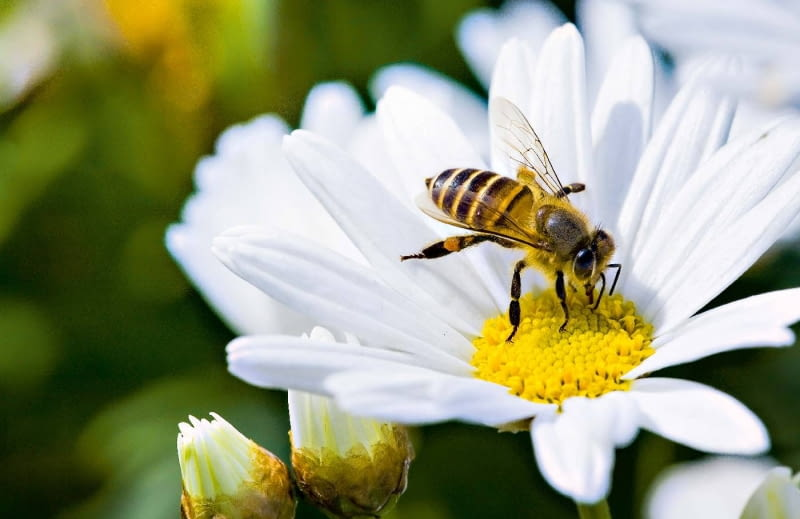 Złocień właściwy przez całe lato zaprasza pszczoły.