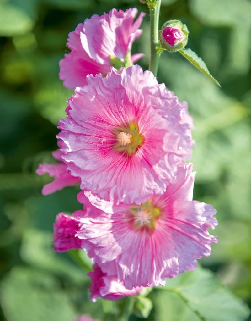 Malwa ogrodowa to roślina dwuletnia. Tworzy odmiany pojedyncze i pełne.