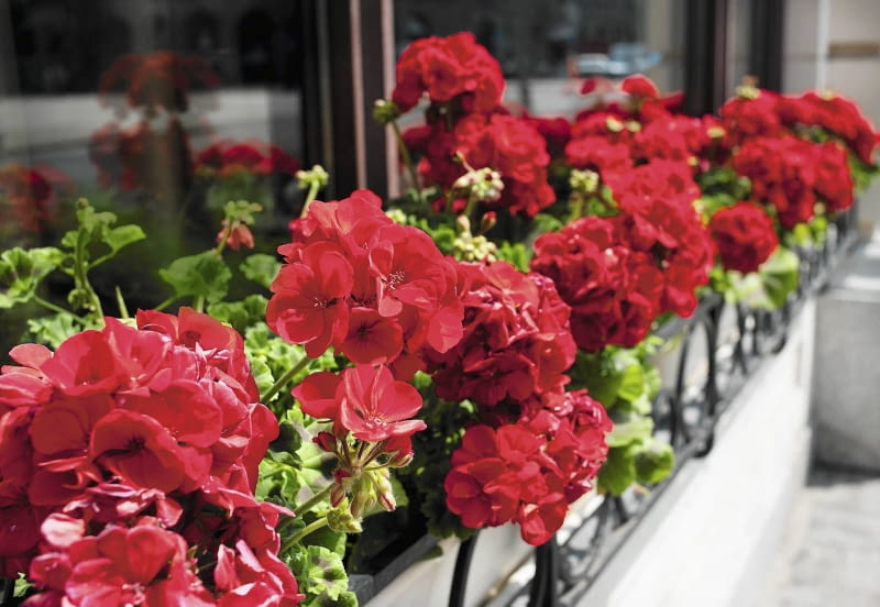 Rośliny Na Balkon E Ogrody