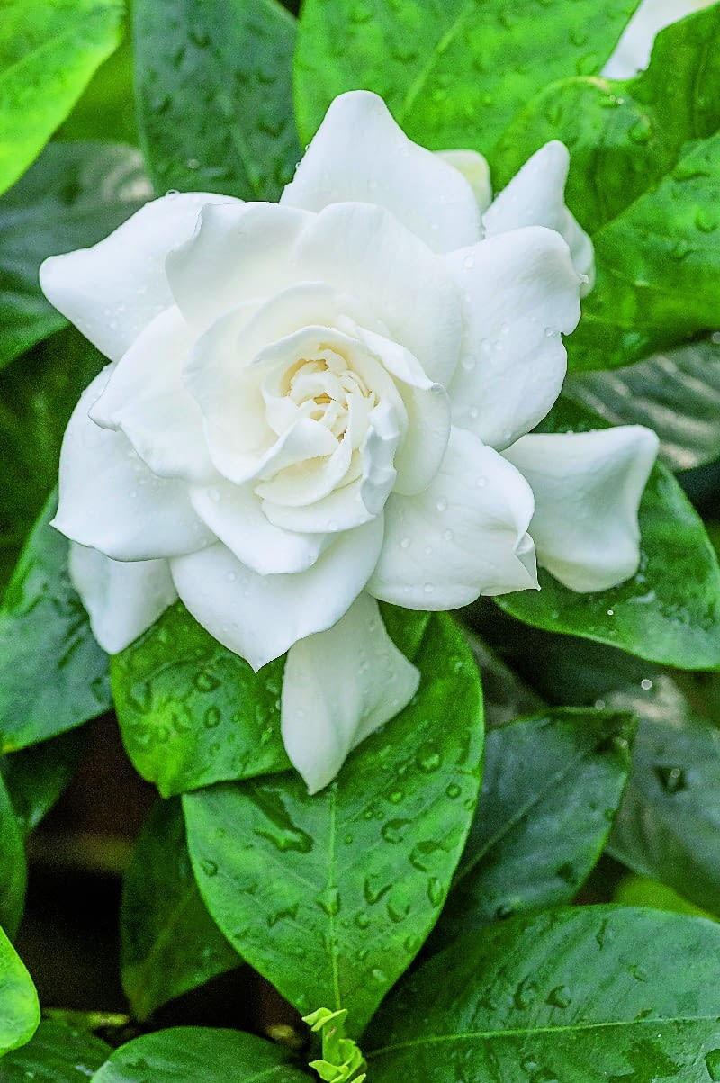 6White blooming Gardenia flower with shiny green leaves