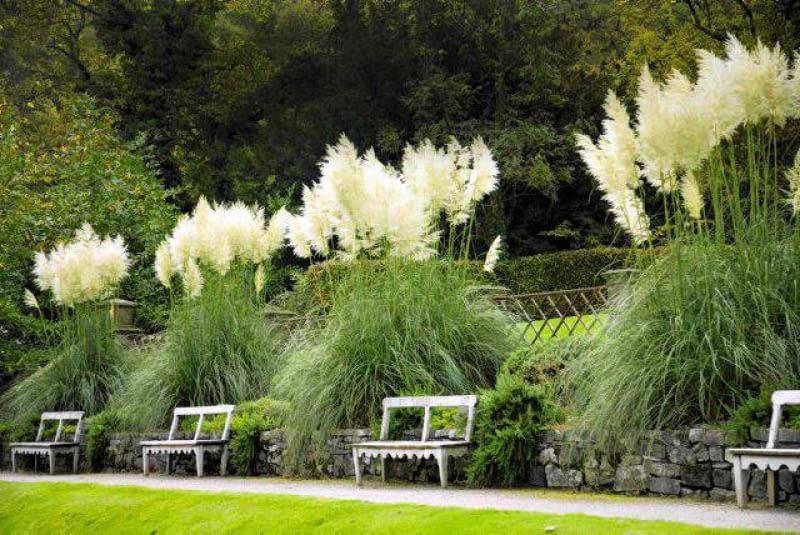 Tall striking pampas grasses (Cortaderia selloana), The Autumn Garden, Ilalm Hall, Derbyshire, UK