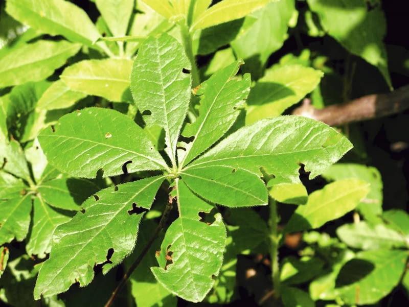 Chrząszcz opuchlak truskawkowca zjada liście azalii