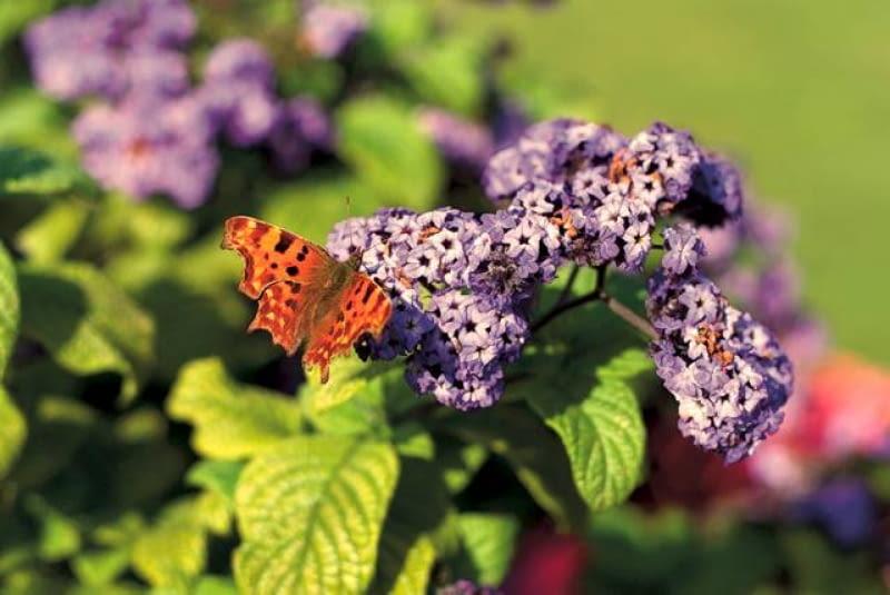 Heliotrop. Tworzy płaskie kwiatostany złożone z drobnych, silnie pachnących kwiatów. Może dorastać do około 70 cm. Potrzebuje dużo słońca i regularnego zasilania.