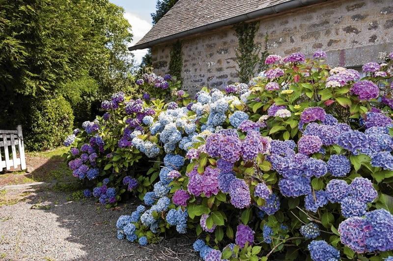 krzewy hortensji ogrodowej