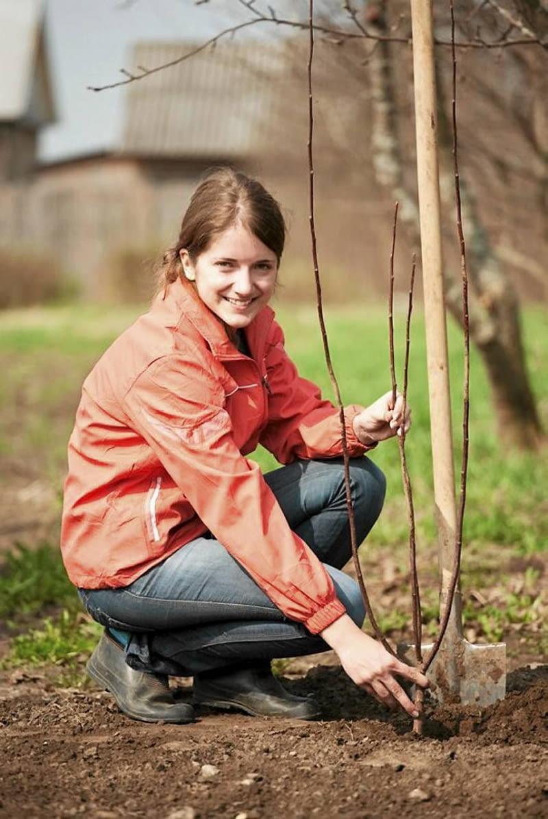 Przy świeżo posadzonym drzewku wkopujemy palik i przywiązujemy do niego główny pień. Dzięki temu wiatr nie wykrzywi rośliny.