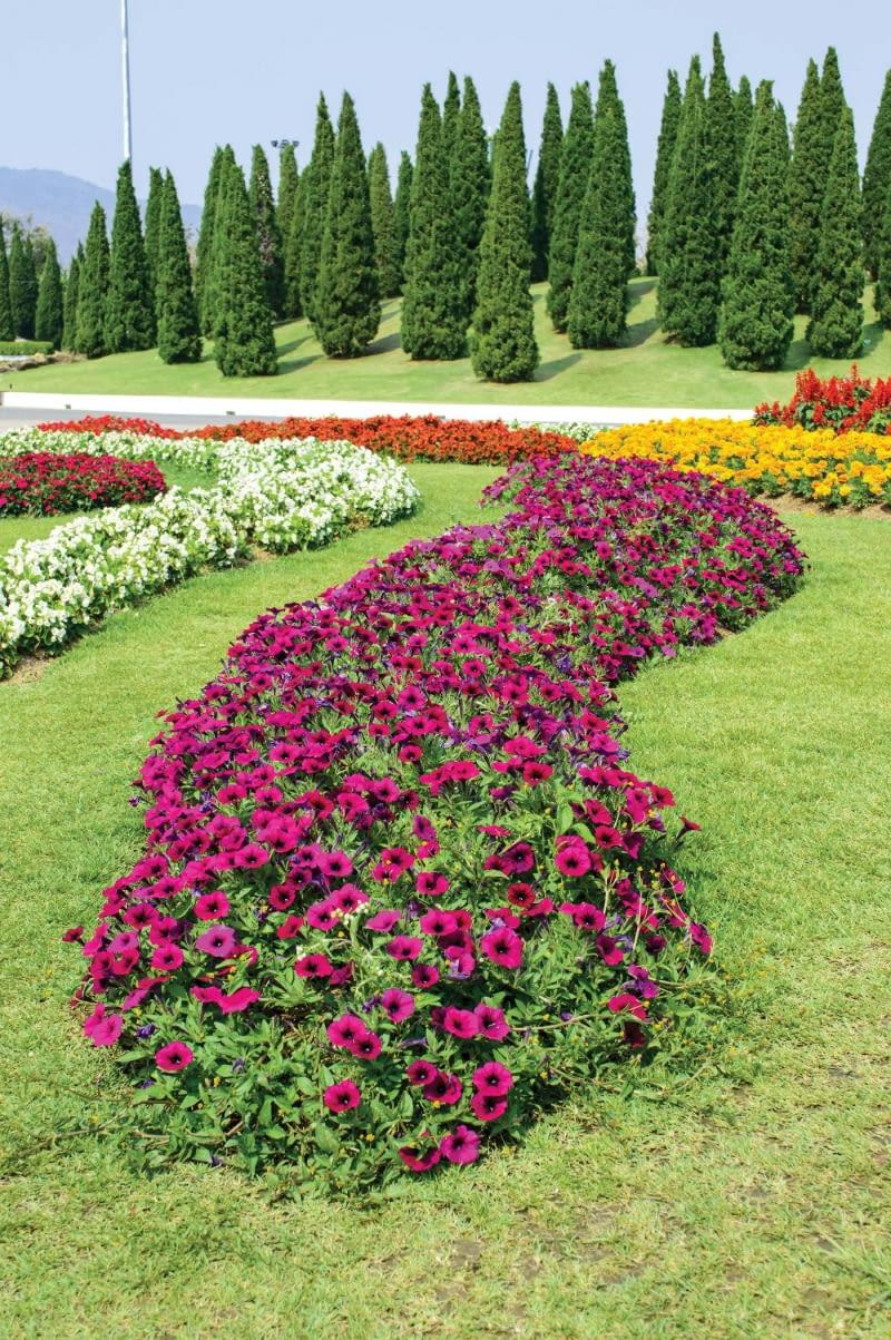 Rzeka z petunii (Petunia) może mieć wiele kolorów. Jest efektowna przez całe lato.
