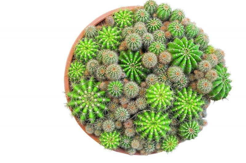 Na powierzchni zdrowych kaktusów nie występują żadne plamy i nie pokrywa ich korkowy nalot, a areole i wyrastające z nich ciernie tworzą regularny wzór.