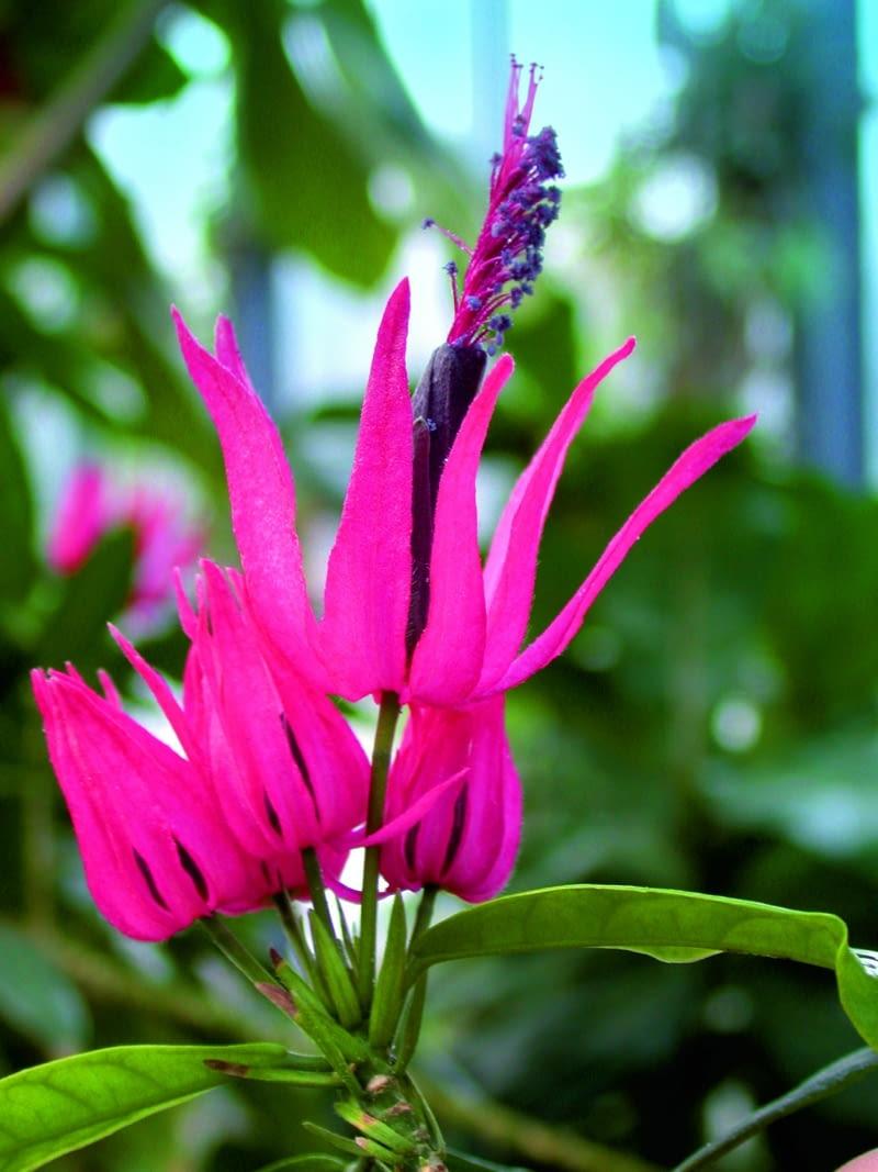 Kwiat pawonii wielokwiatowej zwieńczony jest pięknym pióropuszem pylników.