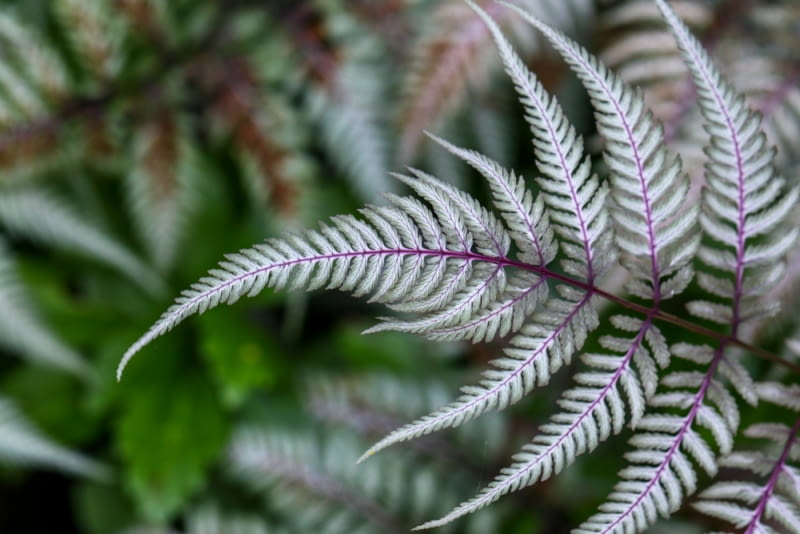 Rośliny o kolorowych liściach. Paprocie Wietlice japońskie