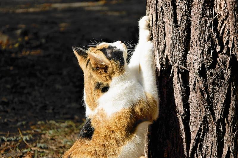 Po zimie koty lubią ścierać pazury o pnie. Grubej korze to nie szkodzi, ale młoda jest uszkadzana do żywego drewna na wysokości prawie metra od ziemi.