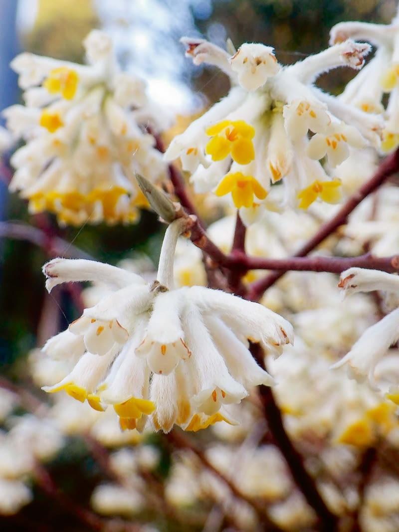 'Grandiflora' - przedwiośnie