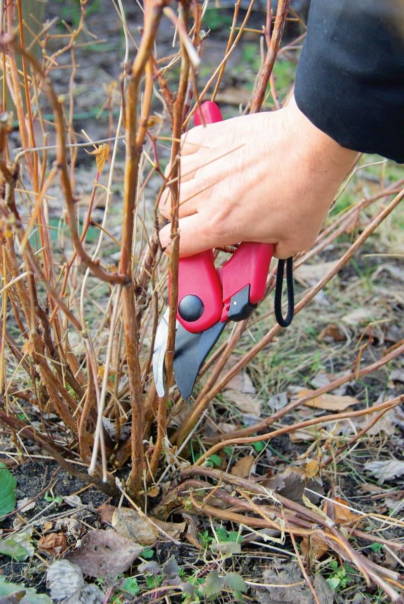 Hortensja drzewiasta Anabelle wymaga odmładzania - robi się to wiosną.