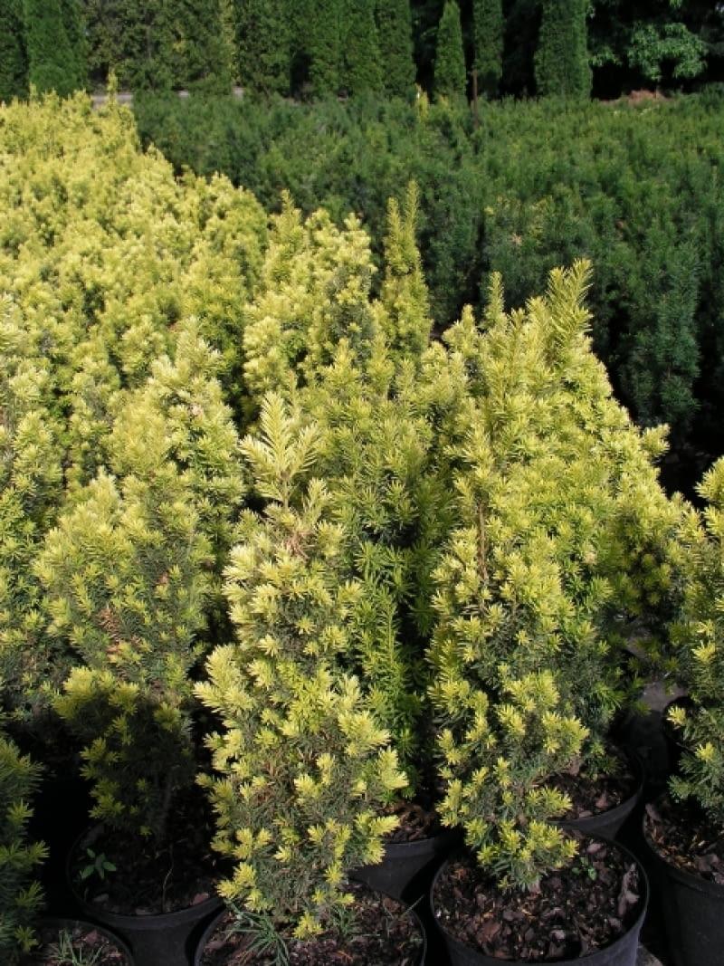 Cis pospolity (Taxus baccata) 'Fastigiata aurea'