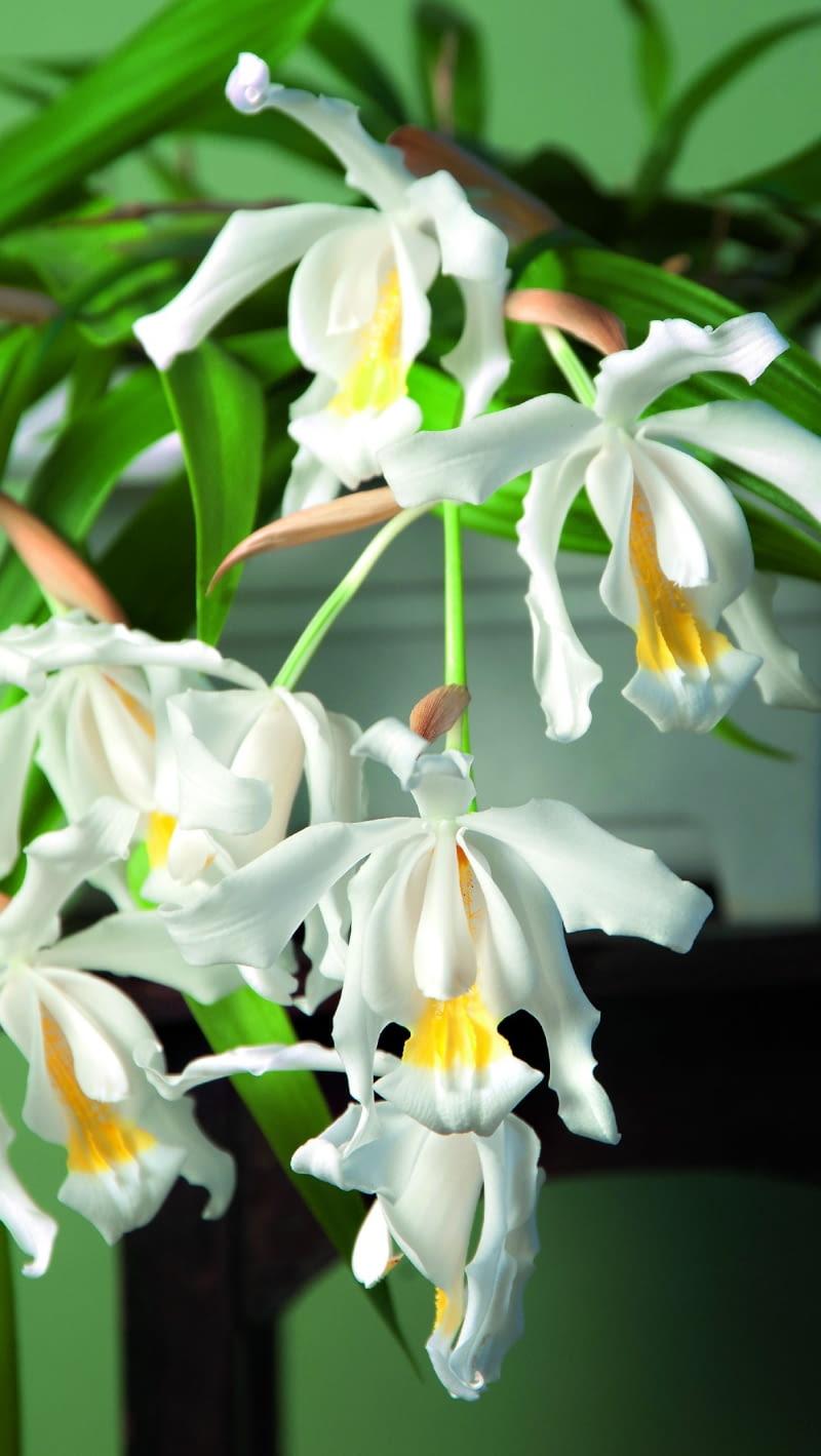 Kapturzyk grzebieniasty tworzy liczne białe, delikatnie pachnące kwiaty. Tylko warżka (dolny płatek) ma żółte plamki.