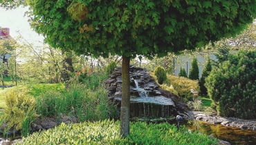 'GLOBOSUM' - odmiana do małych ogrodów, bywa szczepiona na różnych wysokościach.