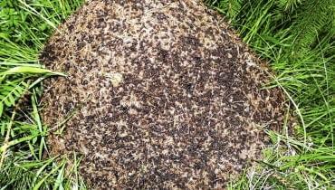 MRÓWKI przeszkadzają roślinom w specyficzny sposób - obsypują je ziemią, budując kopczyki. Mogą też podkopać roślinę i narazić ją na wyschnięcie