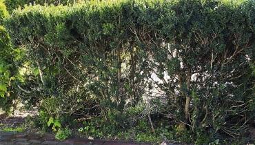Szpaler z bukszpanów ma ok. 1,5 m wysokości, ale krzewy są słabo rozgałęzione