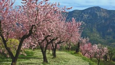 NA POŁUDNIU EUROPY MIGDAŁOWCE osiągają kilkanaście metrów wysokości. Ale już na północ od Alp rosną słabiej. Początkowo ich kwiaty są różowe, z czasem jaśnieją.