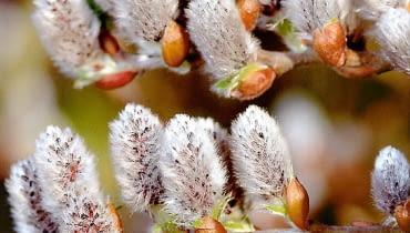 Wierzba szwajcarska (Salix helvetica) to krzew ometrowej średnicy. Szczepiony na pniu tworzy drzewka okulistej koronie.