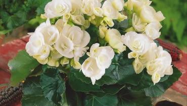 ODMIANY MIESZAŃCOWE begonii zimowej mają wzniesione pędy z licznymi kwiatostanami. Potrafią kwitnąć nieprzerwanie przez kilka miesięcy.