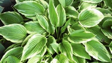 Funkia 'Minute Man' - wys. 30-50 cm, liście wąskie, woli cień