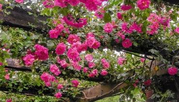 SLOWA KLUCZOWE: ROSA CHAPLINS PINK CLIMBER kew garden london