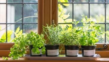 Warunkiem, by zioła ładnie rosły i zbytnio się nie wyciągały jest jasne miejsce. Na zdjęciu: melisa, tymianek, bazylia i cząber mają wspólną podstawkę do której wlewamy wodę.