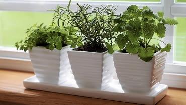 Na parapecie okiennym możemy założyć ogródek ziołowy. Gdy się ociepli, wyniesiemy go na balkon. Ścinanie wierzchołków sprawi, że mocniej się rozkrzewia