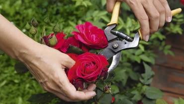 Pierwsze objawy mączniaka lub szarej pleśni często pojawiają się tuż pod kwiatem lub pąkiem. Gdy szybko je wytniemy, ograniczymy rozprzestrzenianie się choroby.