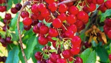 Wiśnia odmiany 'Sokówka'