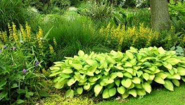 Rośliny do cienia. Tojeść kropkowana na rabacie komponuje się z funkią o złotym zabarwieniu liści.